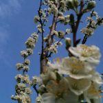 Май 2013. Яблони в цвету