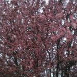 Май 2013. Цветущая сакура